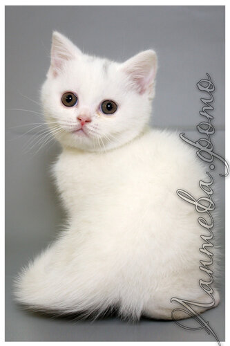 Лаптева-фото - Фотографии животных для питомников и заводчиков - Страница 4 0_155e64_550b791b_L