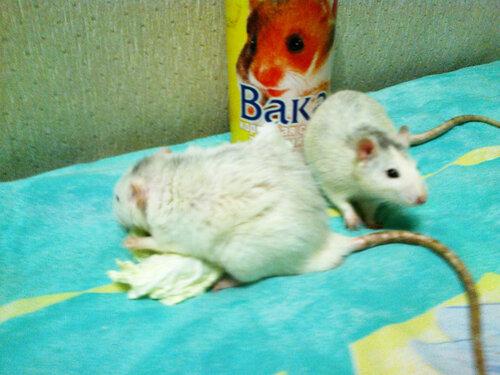 Крыс Хотэй и сынок его Кукай