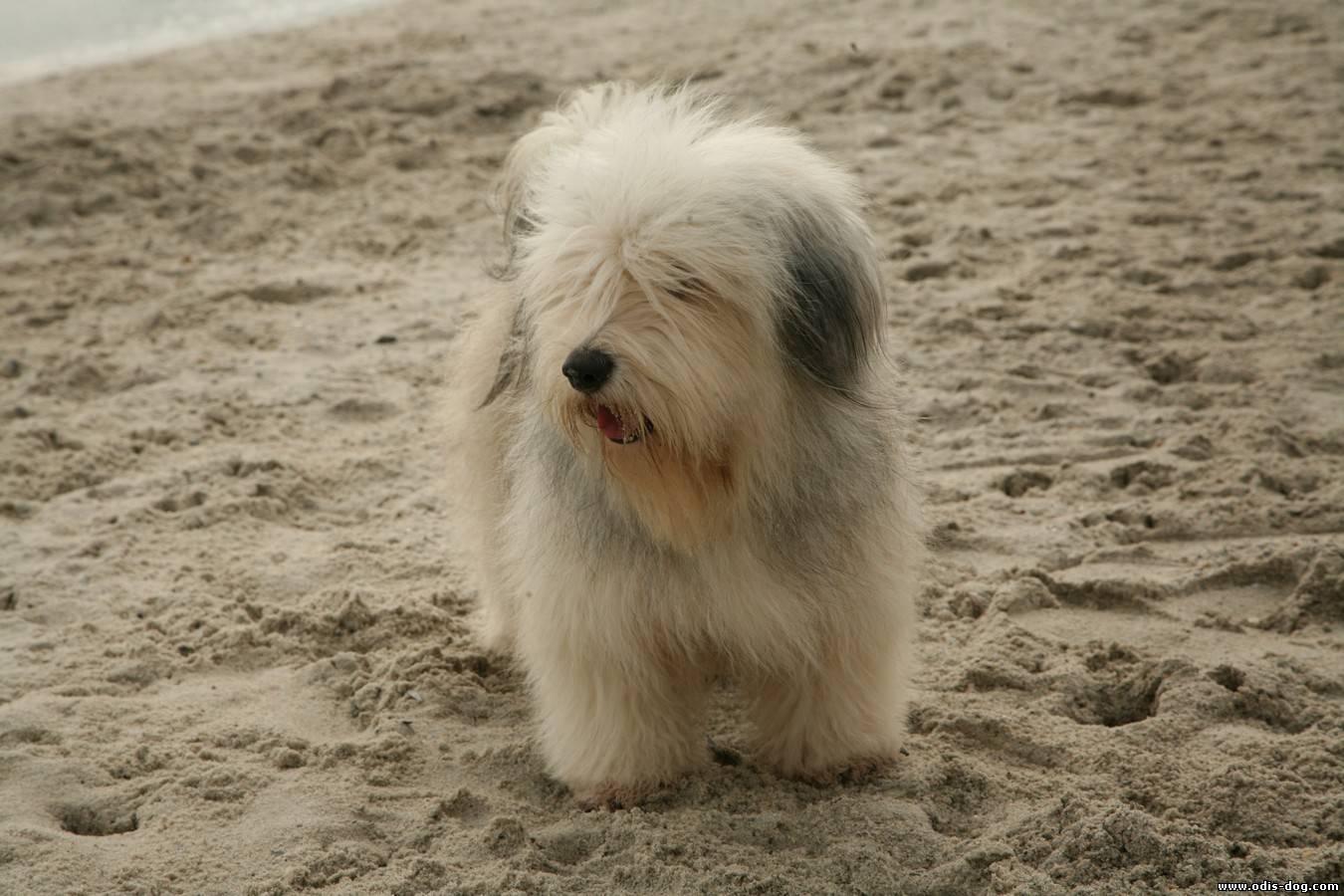 порода собаки Одис