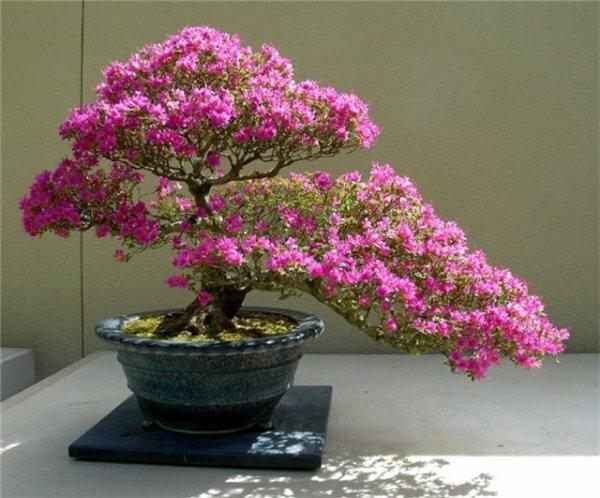 Декоративная сакура выращивание дома 43