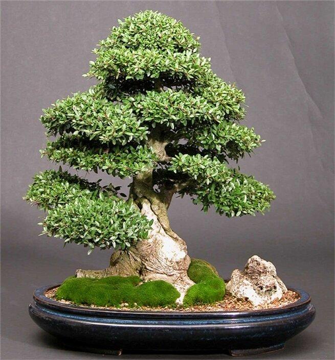 Деревья бонсай своими руками