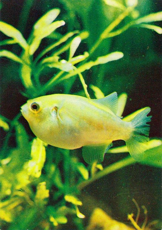 Бронзовый тетрадон, рыба-шар Chonerhinus naritus (Richardson)
