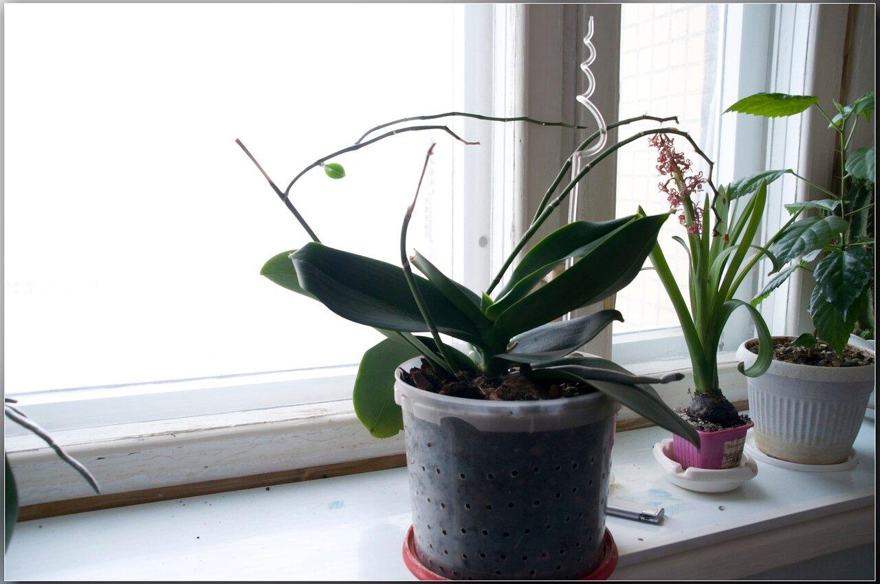 Когда, как и чем подкармливать орхидею фаленопсис 24