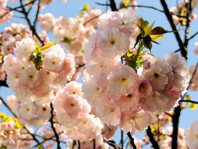 Ханами — японская национальная традиция любования цветами
