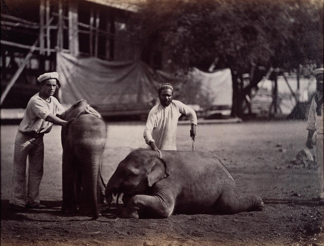 Два маленьких слоненка подаренных Его Королевскому Высочеству Принцу Уэльскому в Индии
