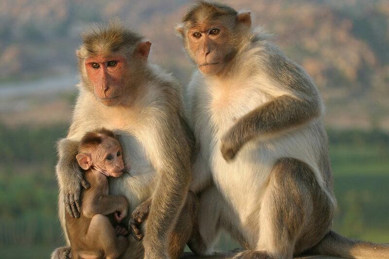 Хампи - город обезьян