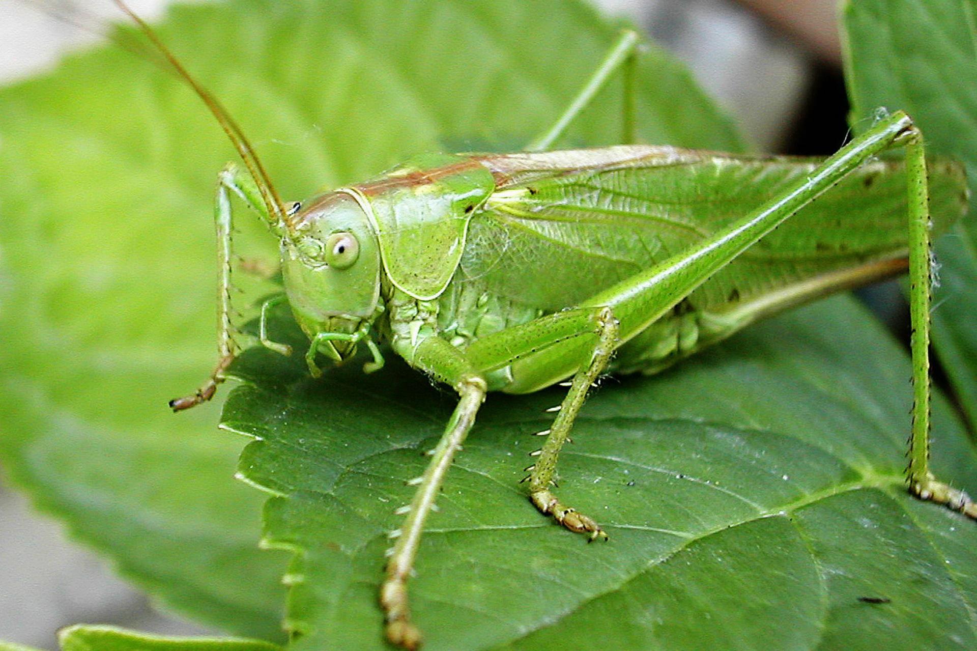 Зелений цвіркун