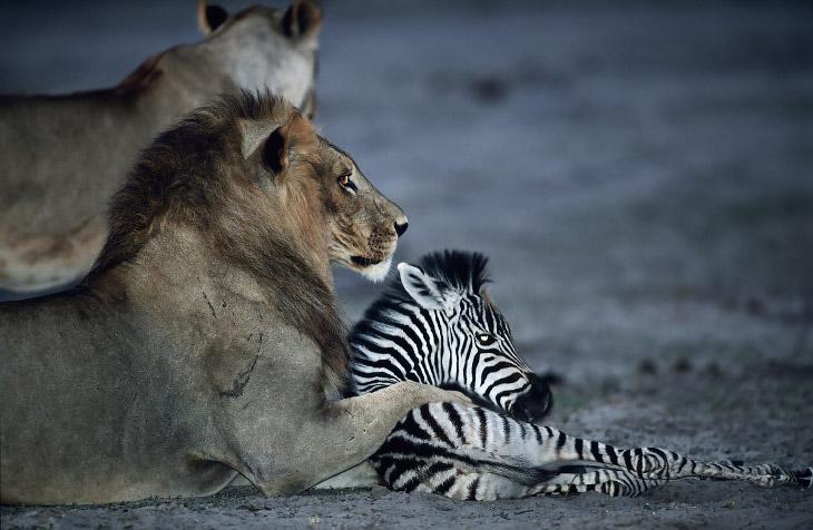 Удивительные примеры поведения животных (11 фото)
