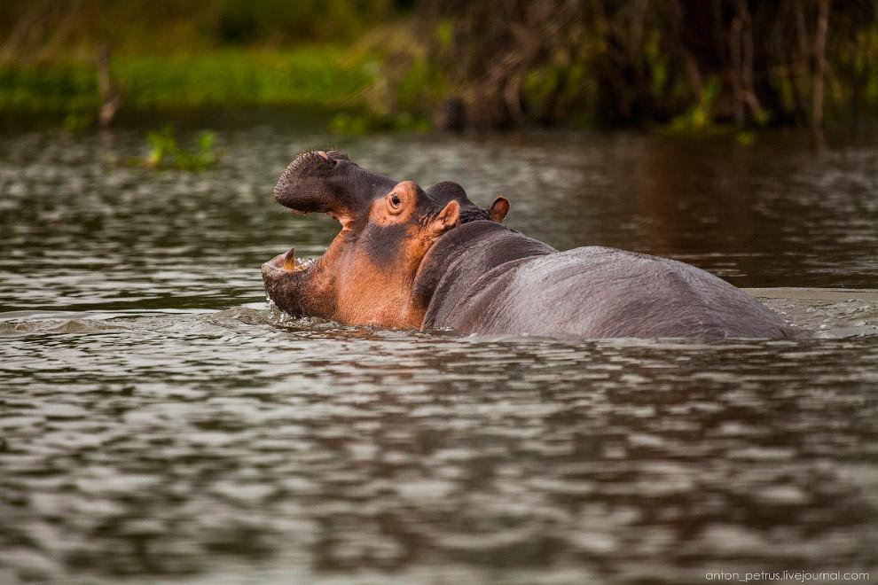 7. Бегемоты клевые. Хотелось снять их в окружении зеленых водяных растений, но их было немного.