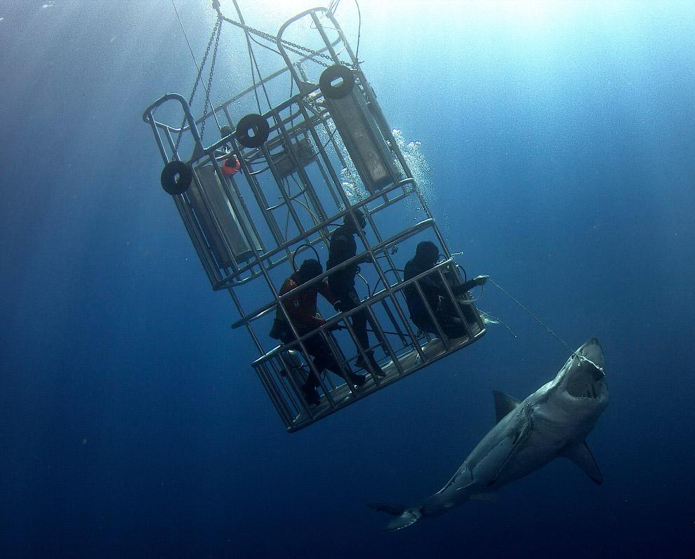 6. На сегодняшний день крупнейшей надежно измеренной акулой признана самка, пойманная в 1988 го