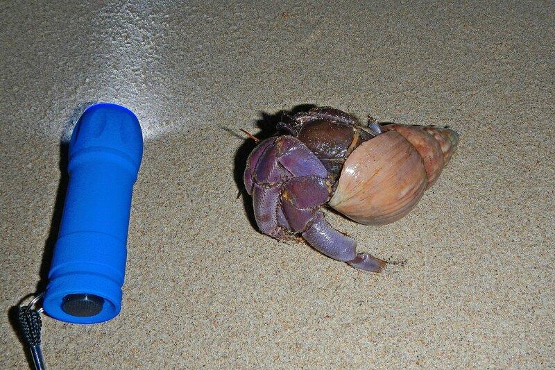 Краб-отшельник, не влезающий уже в свою раковину, но пока что не нашедший более крупного размера. Рядом фонарик для масштаба. Пляж White Sands Beach в Khao Lak, Таиланд