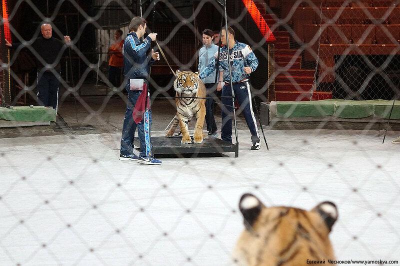 Весна. Назарова. тигры. 29.03.16.10..jpg