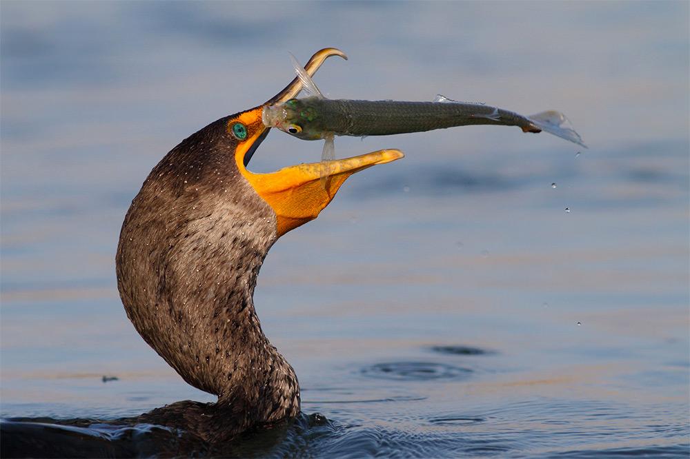 Remarkable High Speed Photos of Birds Catching Fish by Salah Baazizi (10 pics)