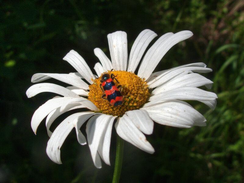 Пчеложук (пестряк пчелиный)