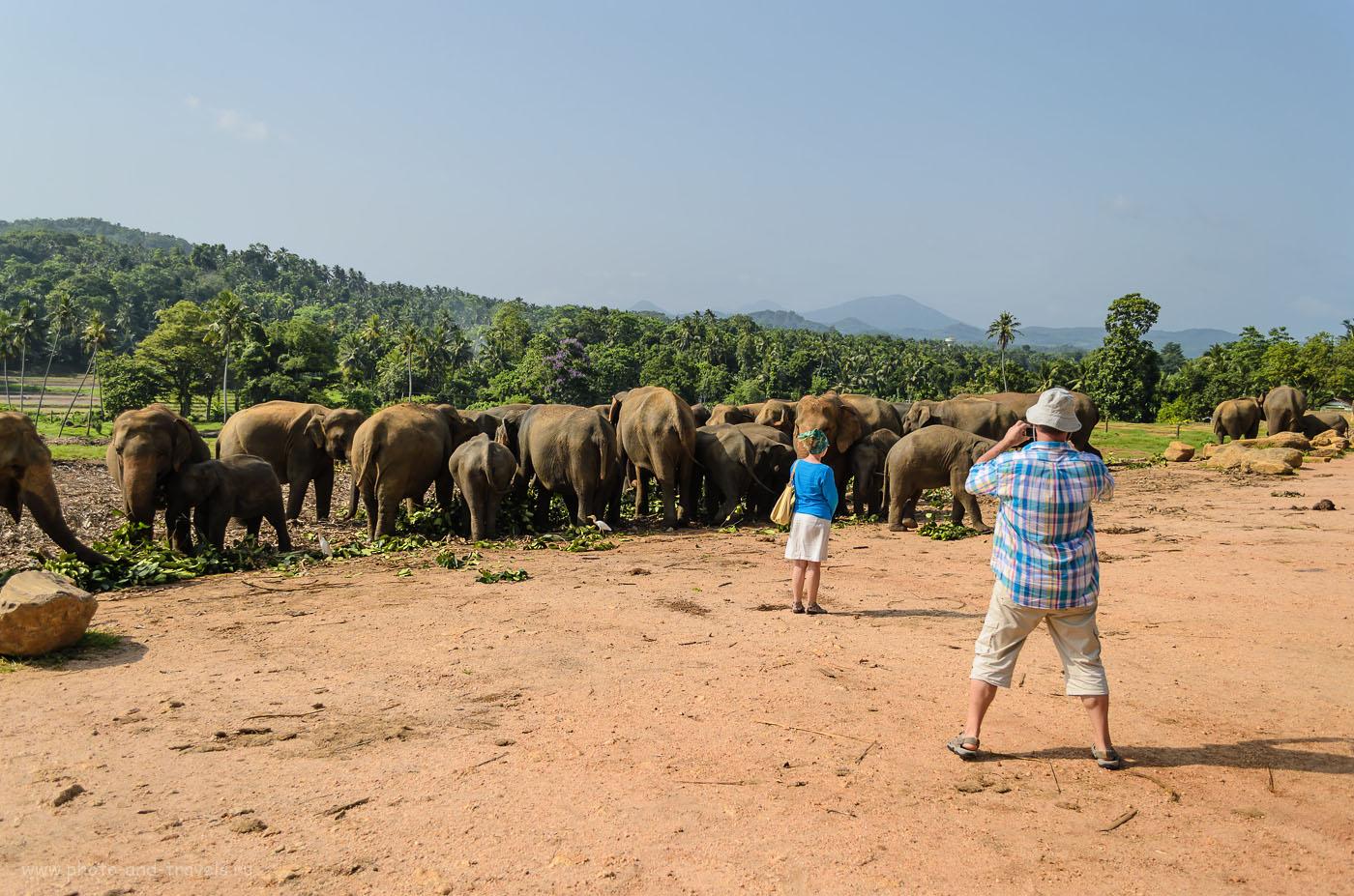 Фотография 4. Утреннее кормление в приюте для слонов Pinnawala Elephant Orphanage, что находится в деревне Пиннавела. Отзывы туристов об экскурсиях на Шри-Ланке.