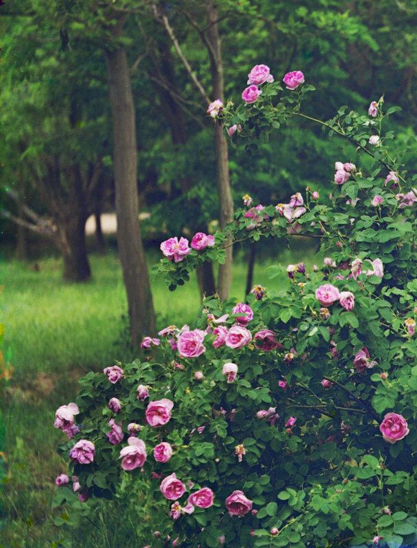 Розы в парке Мургабского имения.jpg