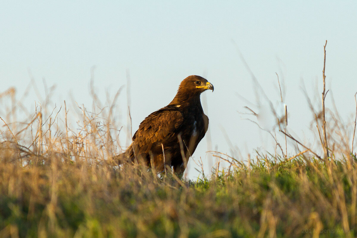 Степной орёл фото 4
