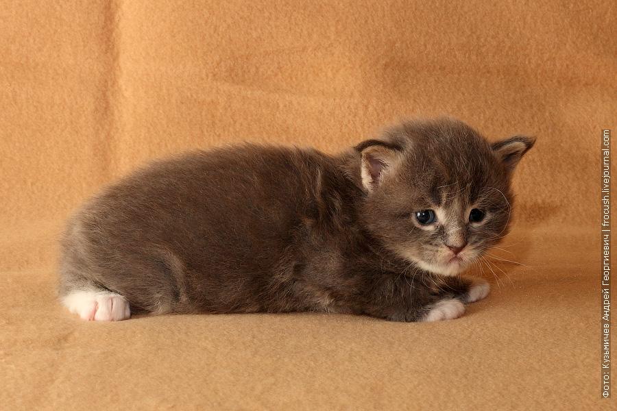 маленький котик мейн кун