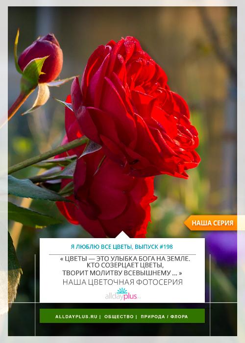 Я люблю все цветы, выпуск 198 | Роза «Piano».