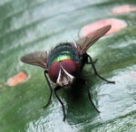Золотистая муха2.jpg