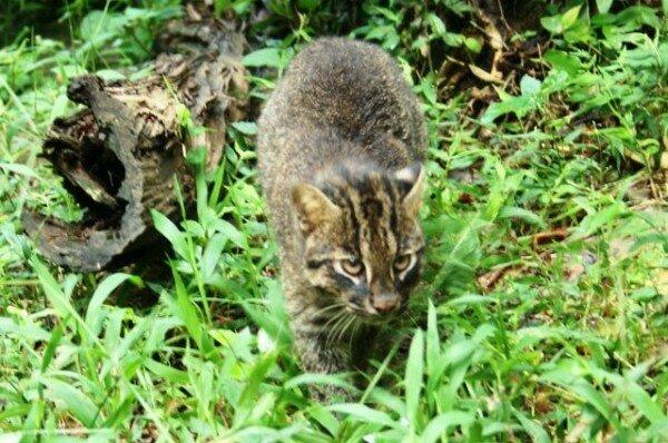 Кошка Иримото