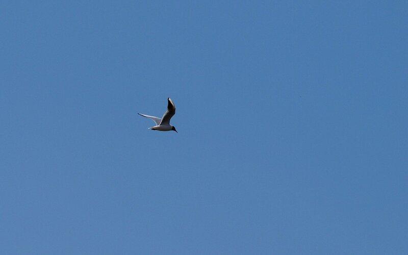 Полёт чайки P5172631