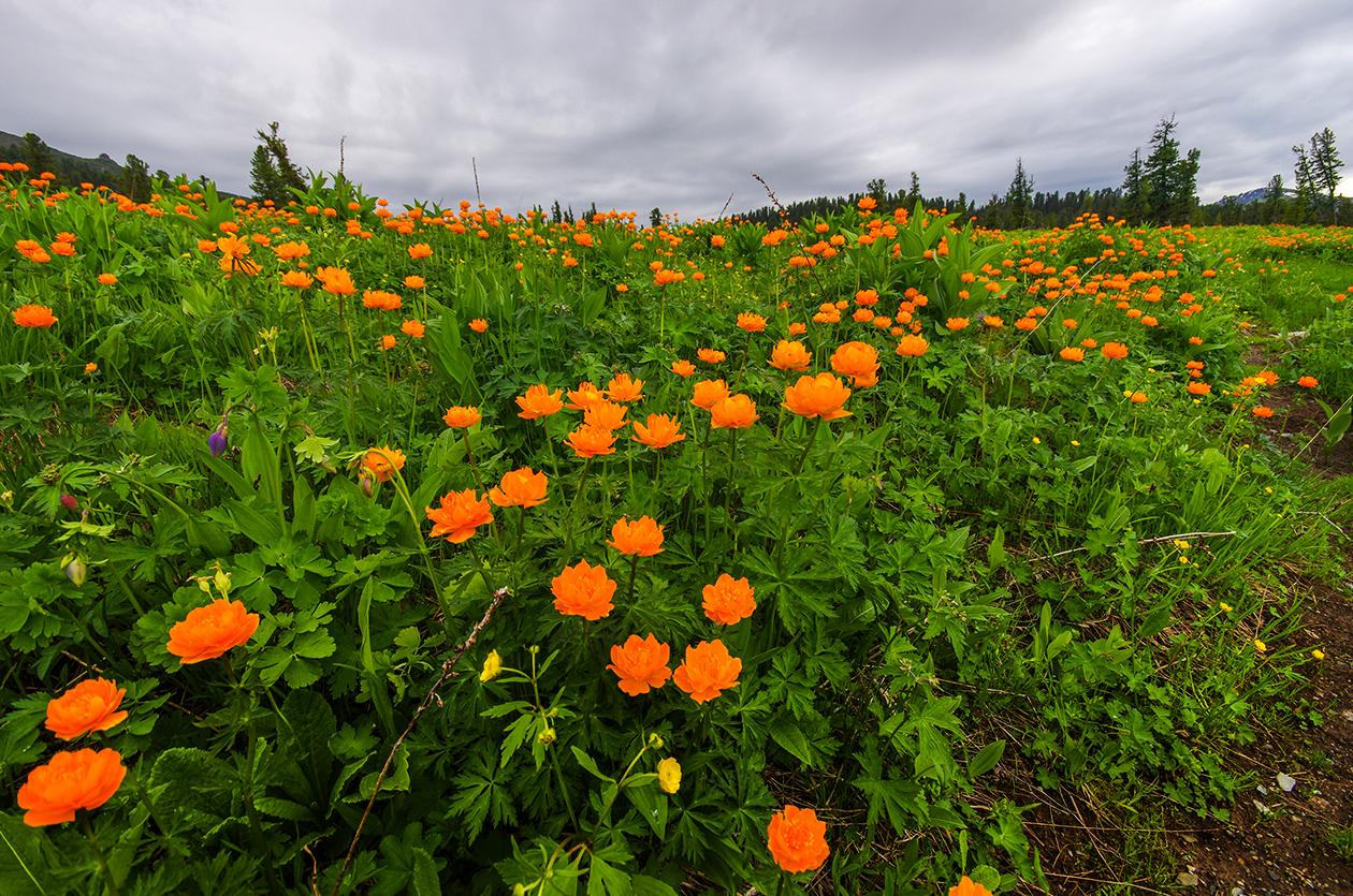 Сибирские огоньки цветы