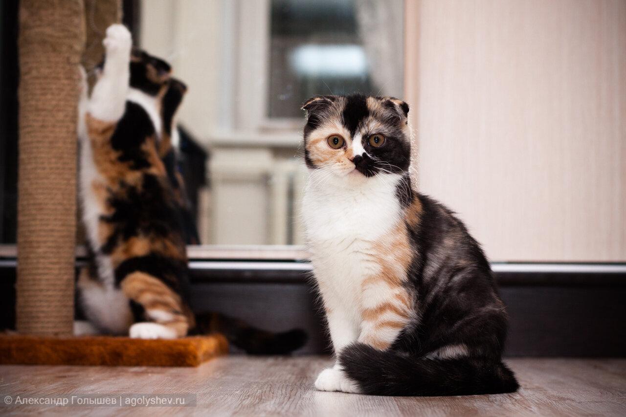 Продаются котята скоттиш-фолд