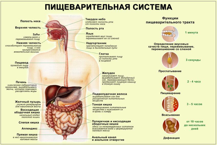 В какой части пищеварительного тракта происходит всасывание