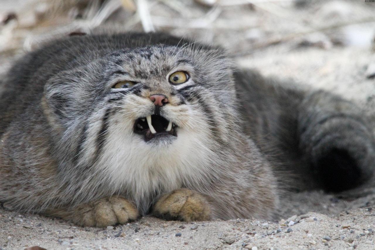 манула кот камышовый фото