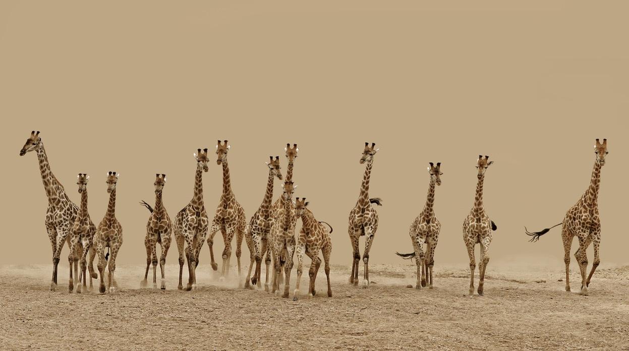 жирафа в хорошем качестве