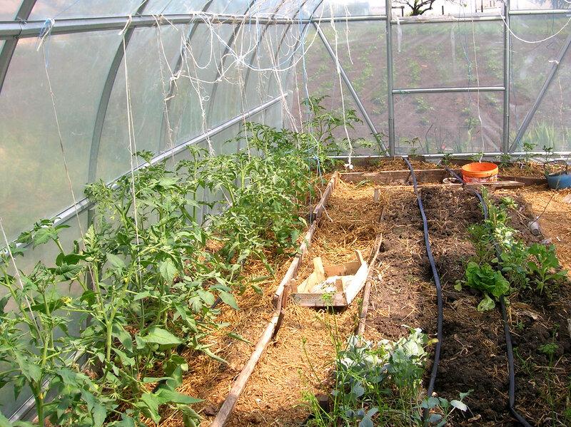 Можно ли в теплице сажать огурцы и помидоры в одной теплице 76