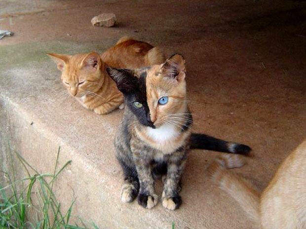 двуликая кошка-химера