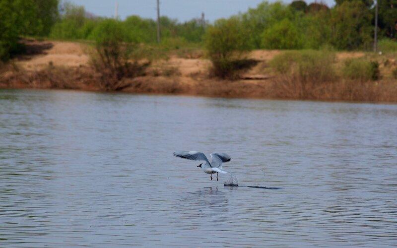 Взлёт чайки с разбегу над рекой P5172864