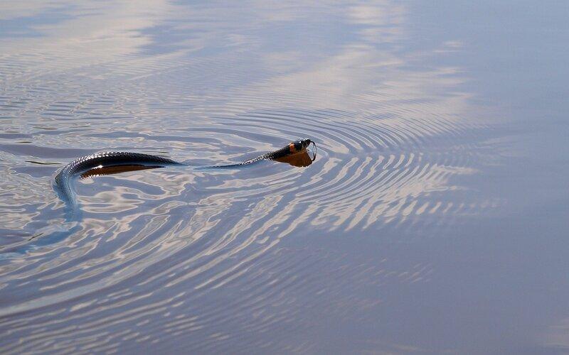 уж обыкновенный (Natrix natrix) плывёт по реке Вятке P5172901.jpg