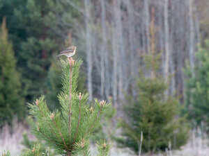 Конёк лесной (Anthus trivialis)Альбом: Из жизни птиц