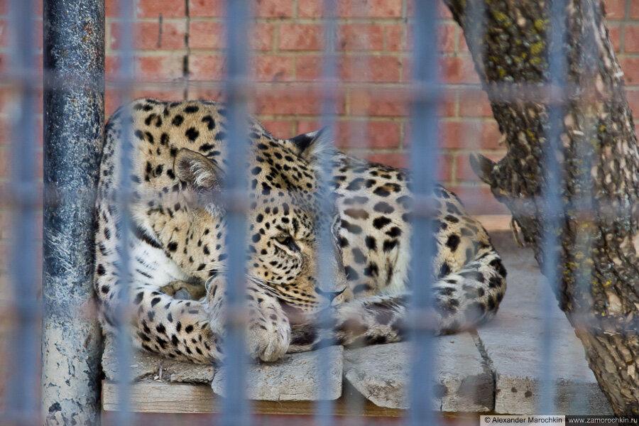 Леопард в саранском зоопарке