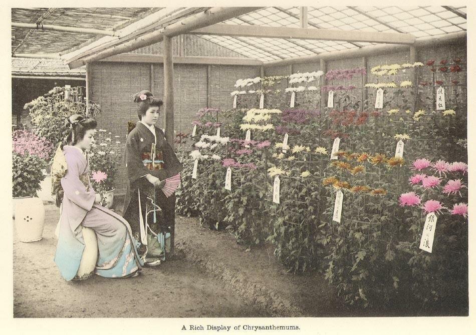Изобилие хризантем