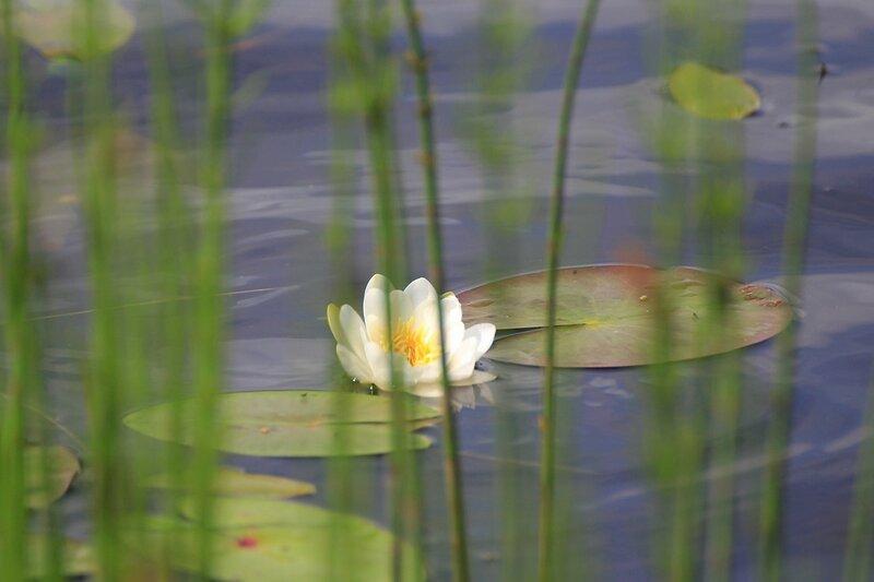 Цветок и листья кувшинки чистобелой (лат. Nymphaea candida) сквозь заросли травы у берега Чёрного озера (Киров)