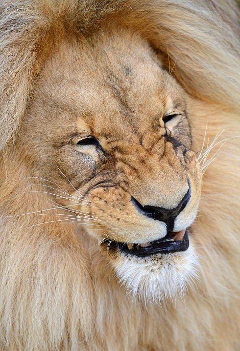 Лев с роскошной гривой