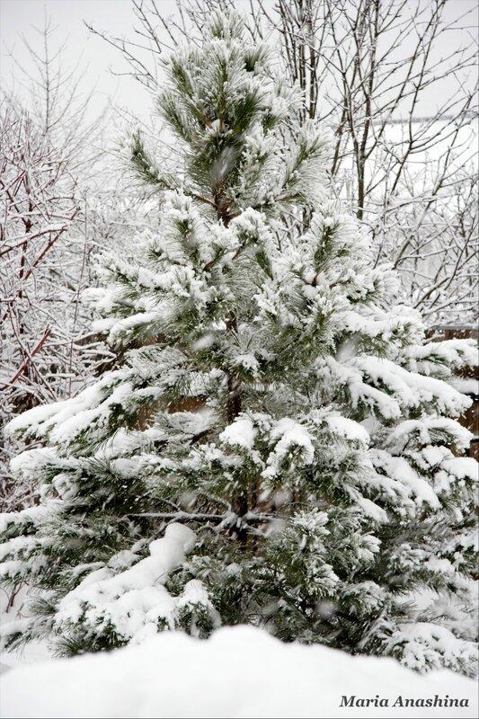 Сосна под снегом - начало метели