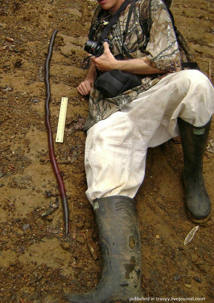 Giant Gippsland earthworm