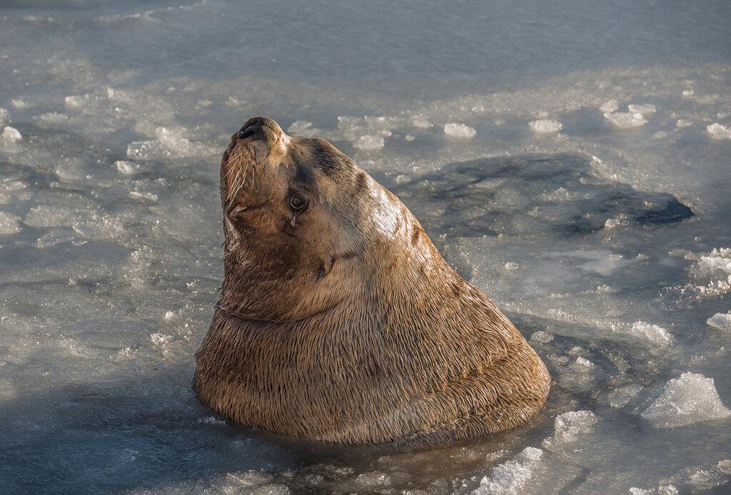 На Камчатке рыбаки отрезали морду «краснокнижному» тюленю