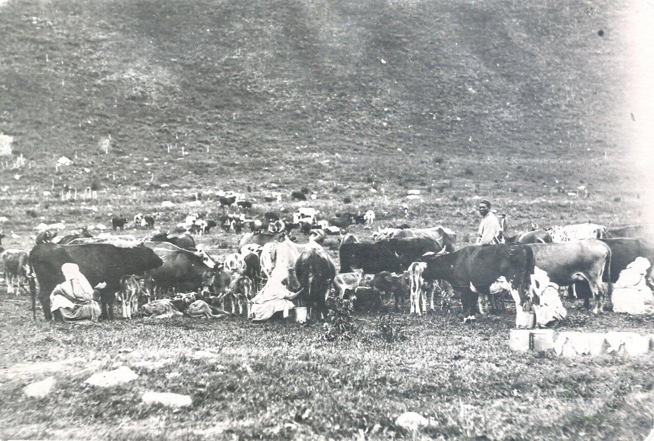 Дойка коров.  1901 год.
