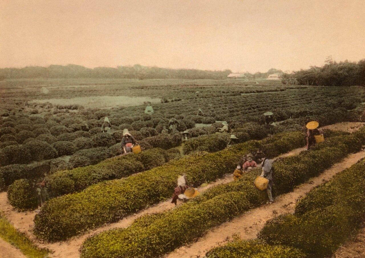 Сборщики чая на чайной плантации в Уджи,1916 г.