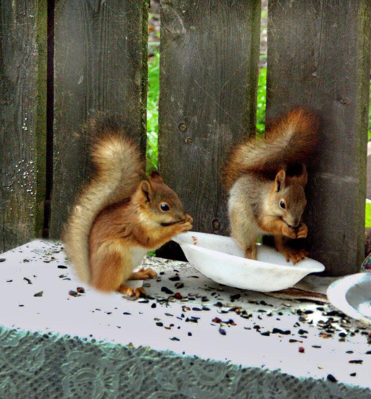 Бельчата обедают.....пока без драки