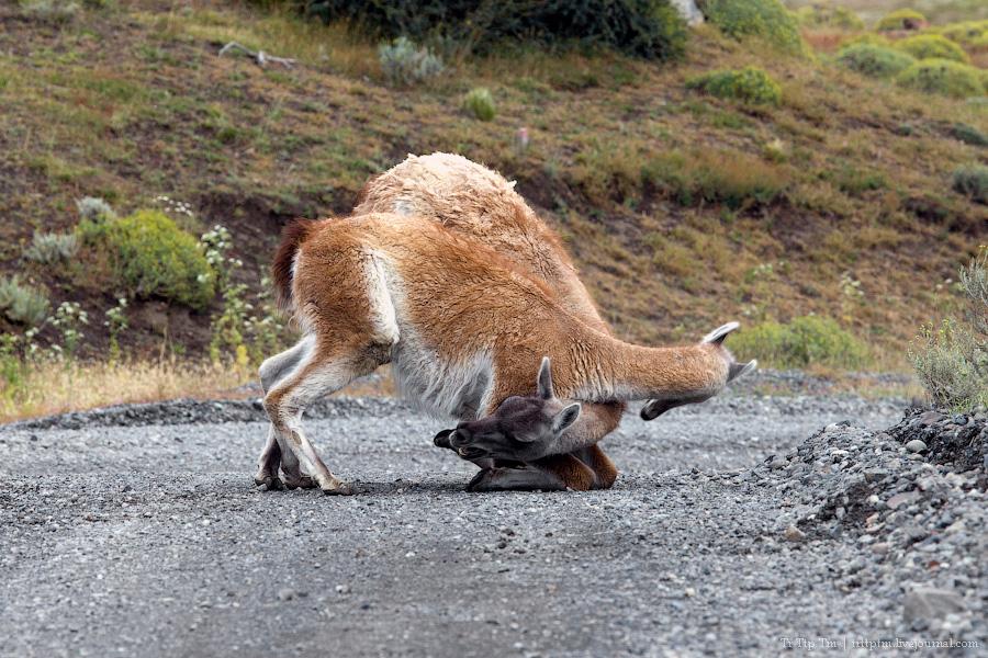 14. Восхождение к Голубым Башням и животный мир Южной Патагонии