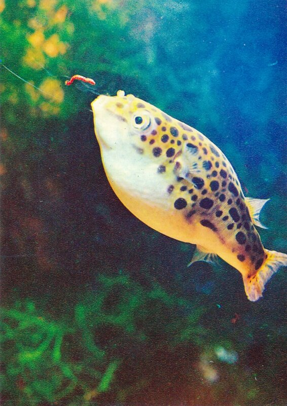 Зеленый тетрадон, рыба-шар Tetraodon fluviatilis (Hamilton-Buchanan)