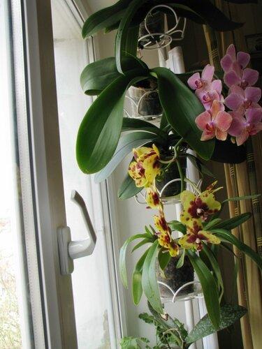 Комнатный цветок похожий на орхидею