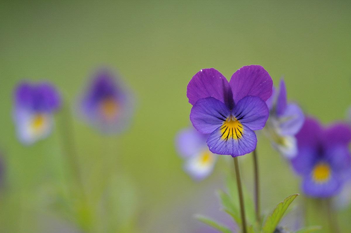 Фиалка трёхцветная (Viola tricolor). Автор фото: Владимир Брюхов